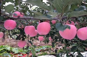 栖霞苹果与其它产地苹果有什么区别 到底哪里的苹果好吃
