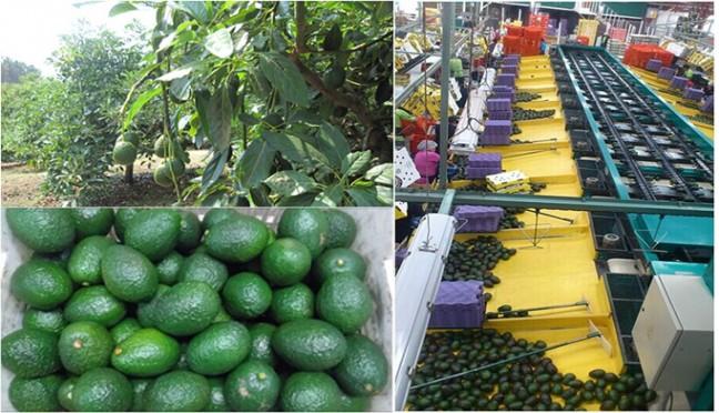 墨西哥HASS品种牛油果