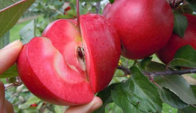 """日本""""红之梦""""苹果"""